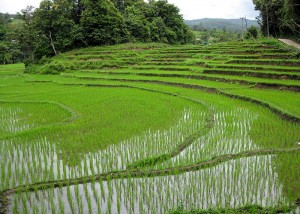 Rice fields near Chiang Mai, Thailand